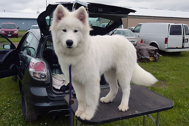 DiamondDrift Samoyeds